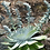 Thumbnail: Dudleya species