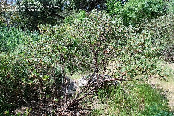 Arctostaphylos rudis vandenberg