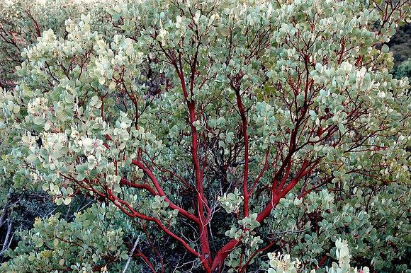 Arctostaphylos glauca, Bigberry Manzanita