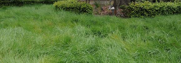 Agrostis pallens, San DIego bentgrass