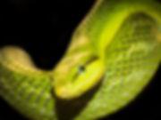 35 kurt_s_müller emerald...snake.jpg
