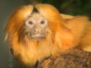 kurt_s_müller_Zuri_Zoo_golden_lion_tamar