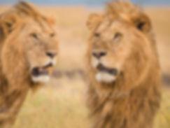 kurt_müller_kenya_lions_double_web.jpg