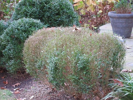 BOXWOOD BLIGHT IDENTIFIED IN LOCAL GARDEN