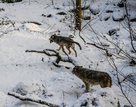 Photographie animalière - Laponie Suédoise - Cercle polaire