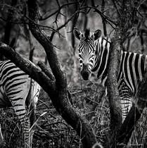 Photographie animalière - Réserve de Nambiti - Afrique du Sud