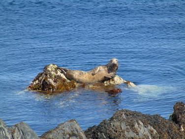 Seals at Langness