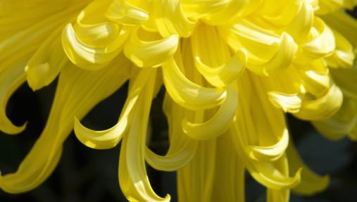yellowmum.jpg