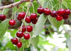 Les Cerisiers des Perroquets