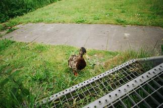 Portrait of a Duck N°1
