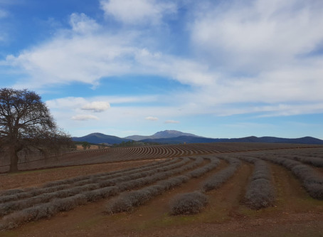 Tie Up Farming in action on one of Australia's largest lavender farms