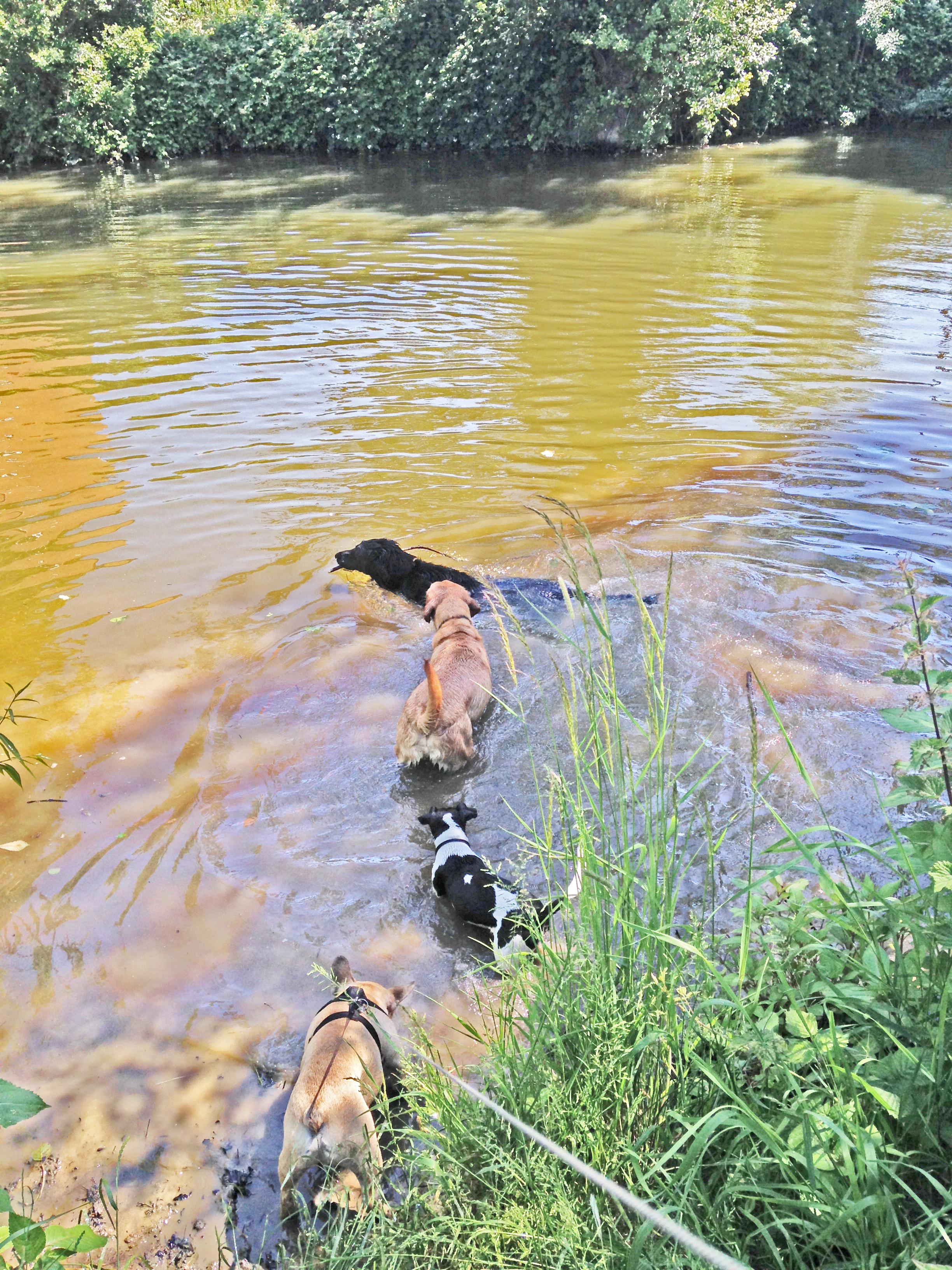 dogs swimming in Tonbridge river