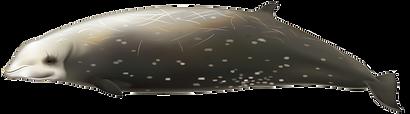Ziphius-cavirostris-1.png