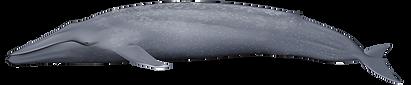 Balaenoptera-musculus.png