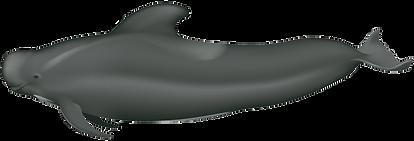Globicephala-macrorhynchus-1.png