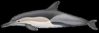Delphinus-capensis-tropicalis.png