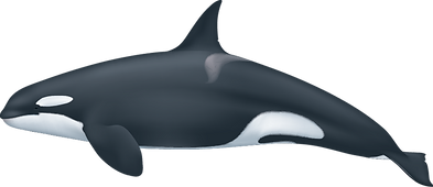 Orcinus orca female.png