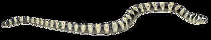 Arabian Gulf Sea Snake.png