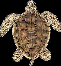 loggerhead-sea-turtle 2.png