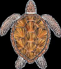 green-sea-turtle.png