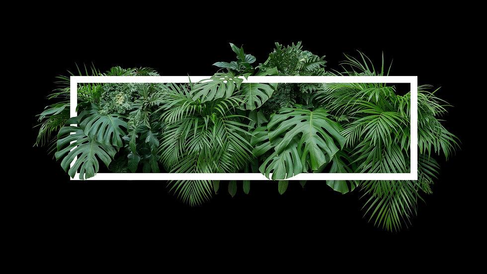 Tropical leaves foliage jungle plant bush nature backdrop with white frame on black backgr