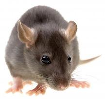 rat_white.jpg