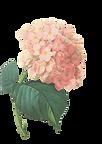 -De-rosa das flores Ilustração 2