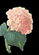 Pink Blossoms Illustratie 2