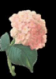 Pink Blossoms Illustration 2