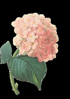 Rosa Blüten Abbildung 2