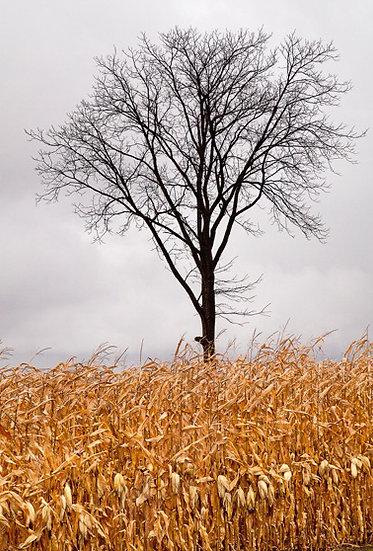 Hans Backer- Tree in Corn Field