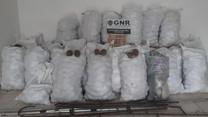 GNR recupera 1500 quilos de pinhas