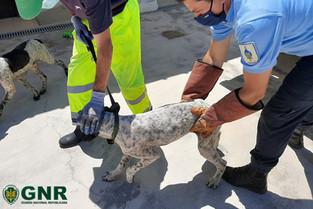 GNR resgata cinco cães maltratados