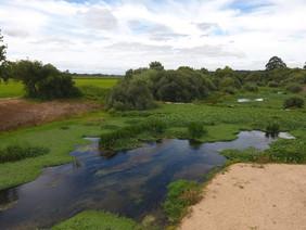 Invasão de jacintos-de-água ameaça rio Sorraia