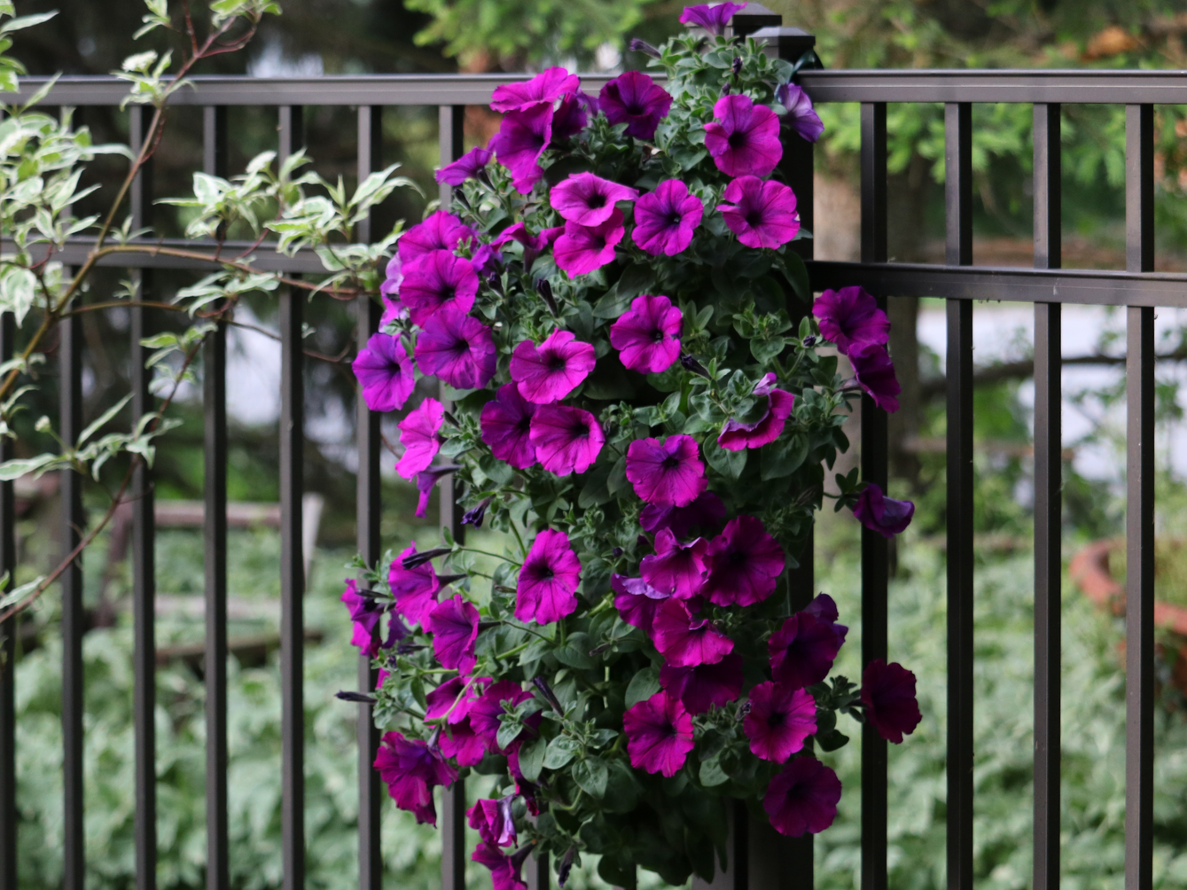 Deep purple petunias never go out of style