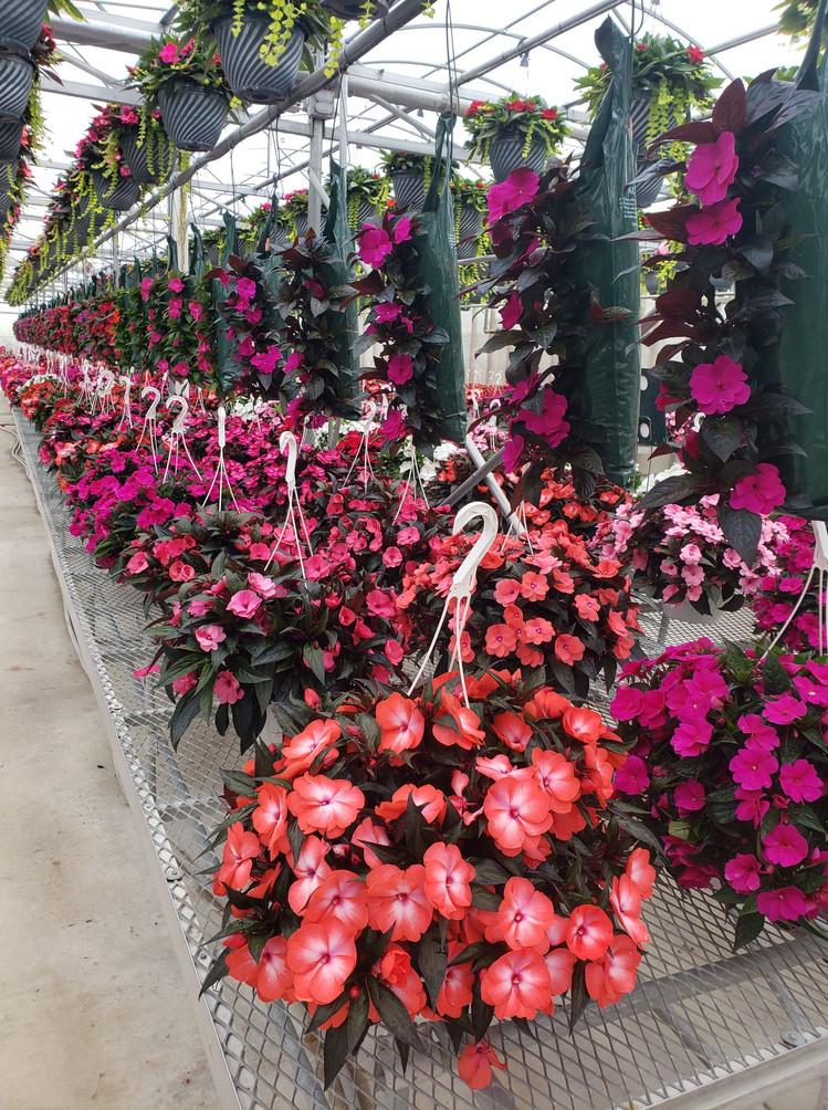 New Guinea impatiens @ Schwartz's Greenhouse