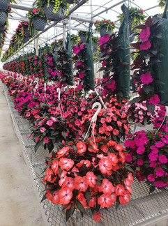 New Guinea impatiens @ Schwartz's Greenhouse