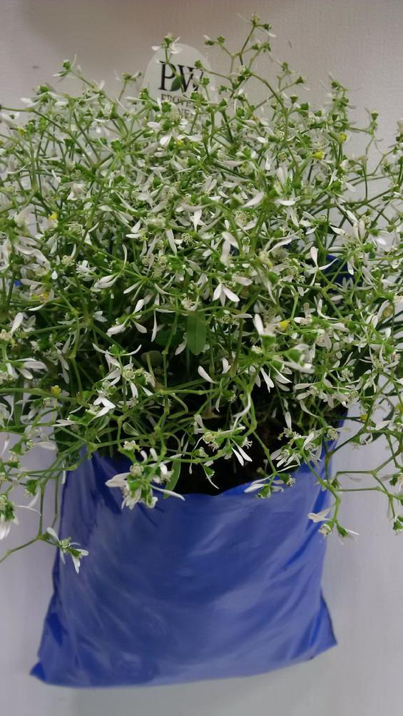 On trend with Proven Winners Diamond Frost Euphorbia in Al's Flower Pocket