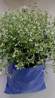 On trend with Proven Winners Diamond Frost Euphorbia in Al's Flower Pocket