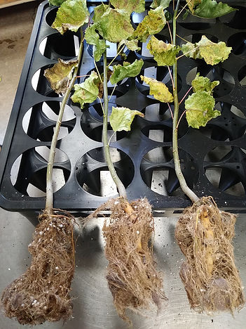 Healthy Root Structure