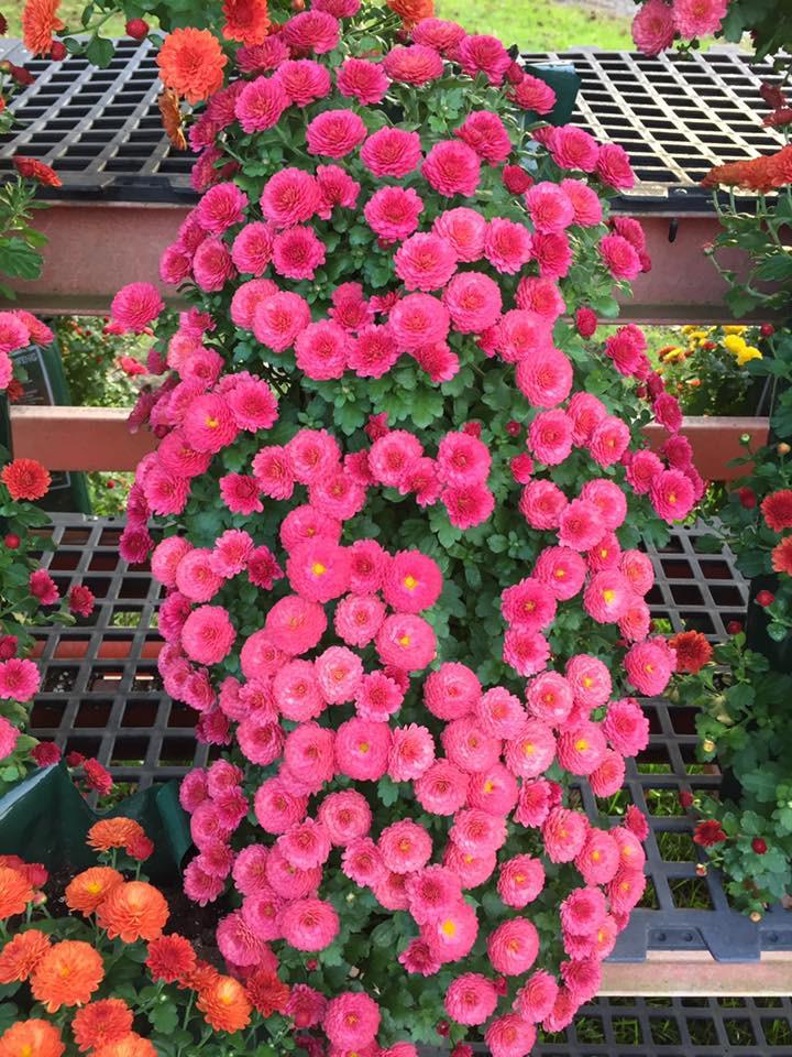 Fall Mums, VanTimmeren Greenhouses