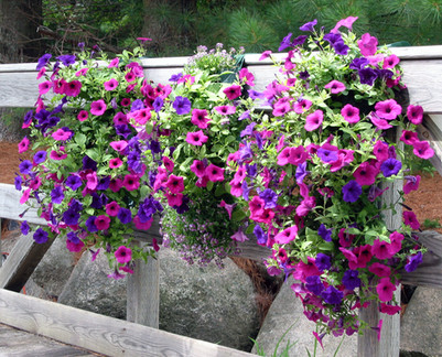 Mixed petunias lining a bridge