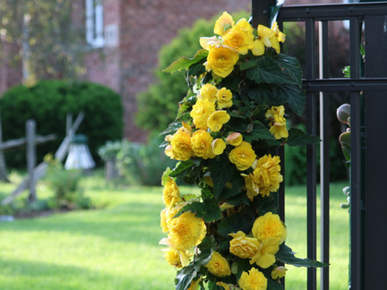 Begonias offer high-impact blooms