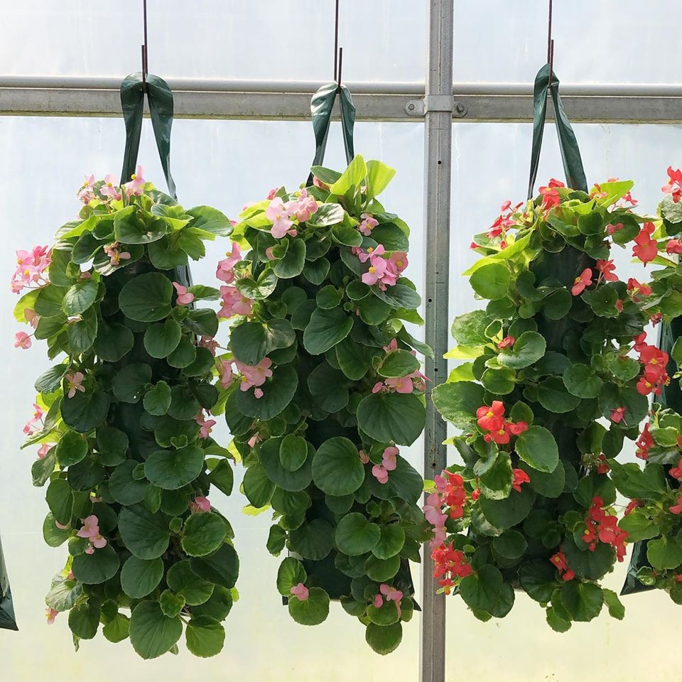 Beautiful Begonias @ Huron Ridge Greenhouses