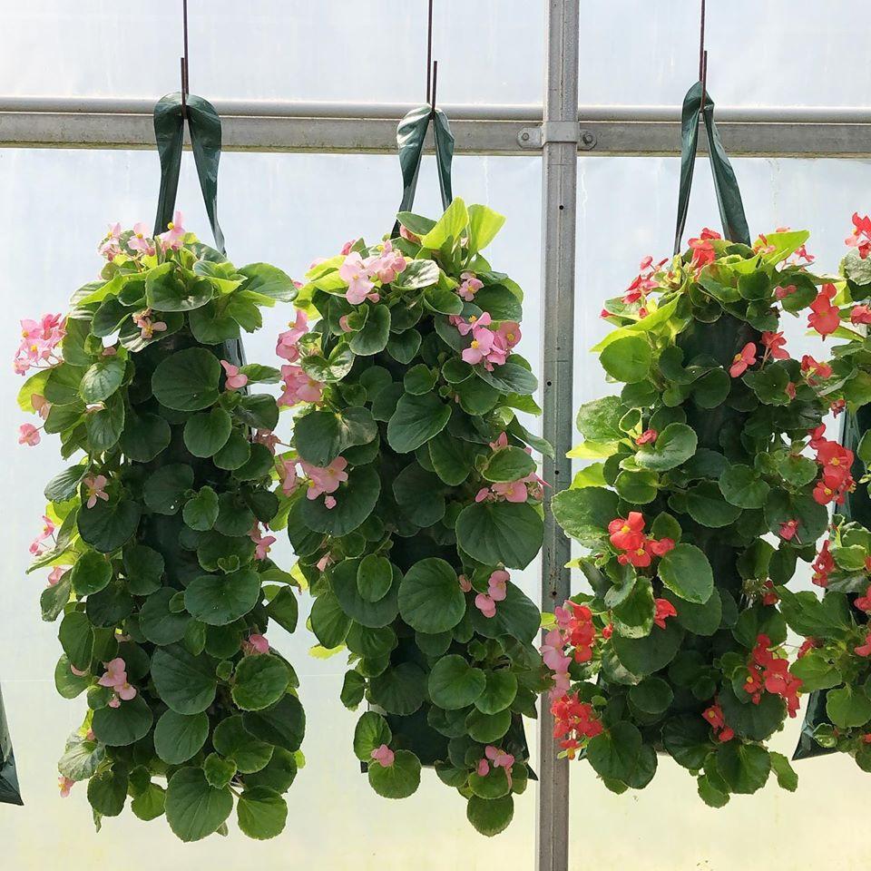 Begonias, Huron Ridge Greenhouses