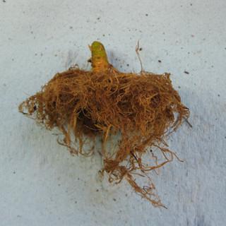 Good Roots (2).JPG