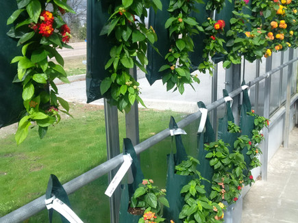 Lantana 5-hole pouch, Terra Greenhouses