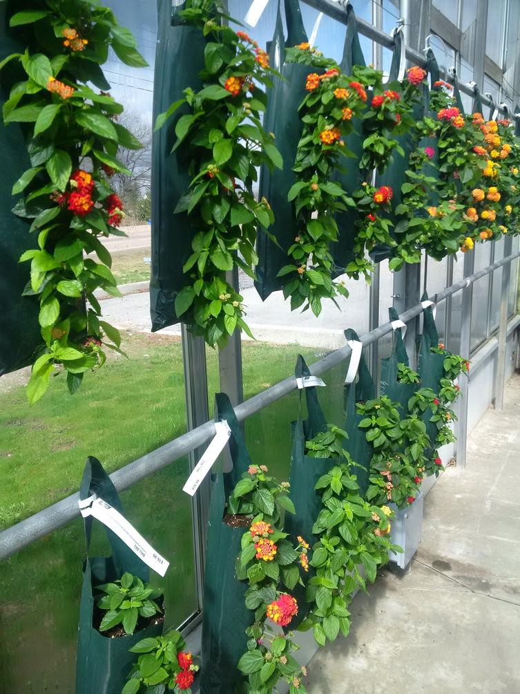 Lantana 5-hole pouch @ Terra Greenhouses
