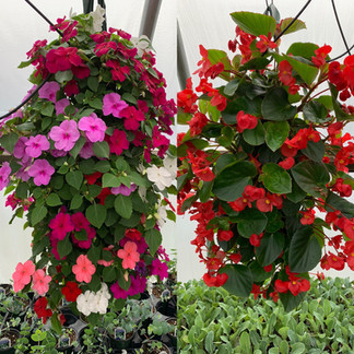 Impatiens and begonias @ Wertman Farm & Greenhouses