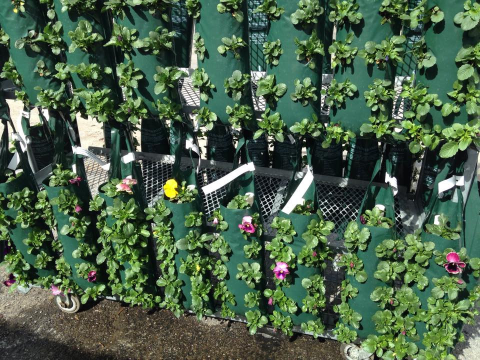 Freshly planted pansies, Hilltop Greenhouses